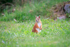 Squirrel on the grass Stock Photography