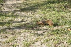 Squirrel on the grass. closeup royalty free stock photography
