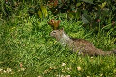 Squirrel in the grass with dandilions in spring 3. Coastal ground squirrel in the grass in pacific northwest in spring stock photo