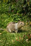 Squirrel in the grass with dandilions in spring. Coastal ground squirrel in the grass in pacific northwest in spring royalty free stock image