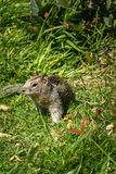 Squirrel in the grass with dandilions in spring 2. Coastal ground squirrel in the grass in pacific northwest in spring royalty free stock images
