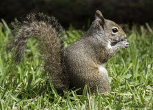 Squirrel on Grass eating a Peanut Stock Photos
