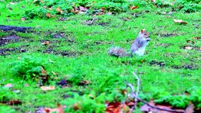 Squirrel on the grass stock video footage