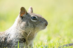 Squirrel in grass, head up with reflection in eyes Stock Photo