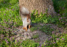 Squirrel on the grass Royalty Free Stock Photography