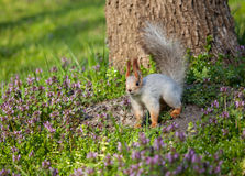 Squirrel on the grass Royalty Free Stock Photos