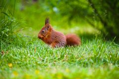 Squirrel on the grass Royalty Free Stock Images