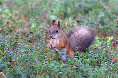 Squirrel among a grass Royalty Free Stock Photo