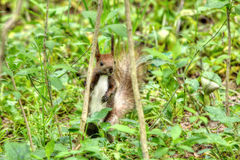 Squirrel in the grass Royalty Free Stock Photo