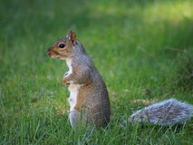 Squirrel in the grass. Squirrel sitting calmly on it`s hind legs as it surveys the area around it Royalty Free Stock Photos