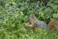 Squirrel on the grass. Squirrel on grass on summer day stock images