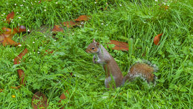 Squirrel in the grass Stock Image