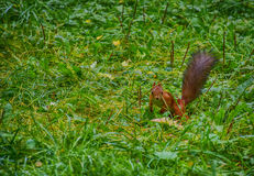Squirrel on the grass Stock Photo
