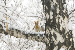 Squirrel with gray fur and orange ears on the birch tree covered Royalty Free Stock Photo