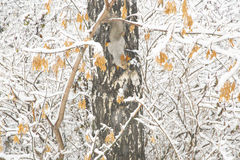Squirrel with gray fur and orange ears on the birch tree covered Royalty Free Stock Photography