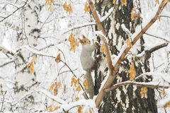 Squirrel with gray fur and orange ears on the birch tree covered Royalty Free Stock Images