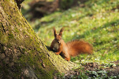 Squirrel on green background of grass Stock Photos