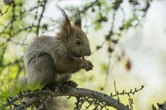Squirrel in green branch. Of the larch tree Royalty Free Stock Photography