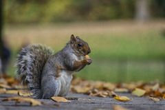 Squirrel in green grass and autumn leafs royalty free stock photo