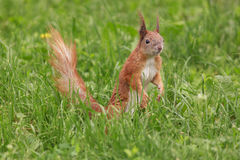 Squirrel in green grass Stock Image
