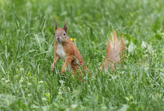 Squirrel in green grass Royalty Free Stock Image