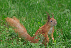 Squirrel in green grass Stock Photography