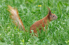 Squirrel in green grass Royalty Free Stock Photography