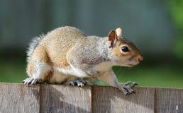 Squirrel, Grey, Brown, Fur, Cute Royalty Free Stock Photos