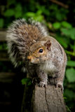 Squirrel. A grey squirrel poses on a fence Royalty Free Stock Photo