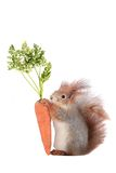 Squirrel. Grey  squirrel on a white background Stock Photography