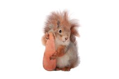 Squirrel. Grey  squirrel on a white background Stock Images