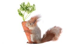 Squirrel. Grey  squirrel on a white background Royalty Free Stock Photography
