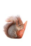 Squirrel. Grey  squirrel on a white background Royalty Free Stock Image