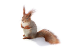 Squirrel,. Grey  squirrel on a white background Stock Photos