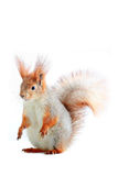 Squirrel,. Grey  squirrel on a white background Royalty Free Stock Photo