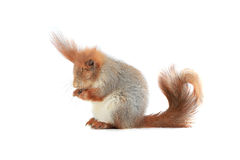 Squirrel,. Grey  squirrel on a white background Stock Image