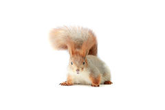 Squirrel,. Grey  squirrel on a white background Royalty Free Stock Image