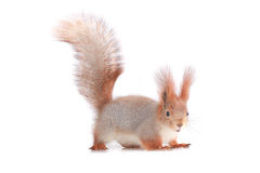 Squirrel,. Grey  squirrel on a white background Royalty Free Stock Images