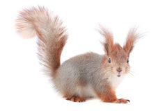 Squirrel,. Grey  squirrel on a white background Stock Photo