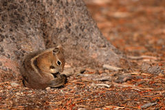 Squirrel Grooming Tail Royalty Free Stock Photo