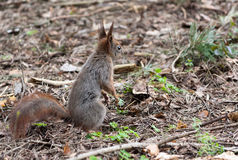 Squirrel. A squirrel on the ground royalty free stock photography