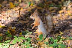 The squirrel on the ground of the autumn park or the forest in the warm sunny day among the grass and yellow fallen leaves stock image