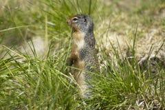 Squirrel in the ground. British Columbia. Canada Stock Photo