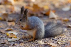 Squirrel on the ground stock photography