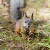Squirrel on a ground in grass Royalty Free Stock Photos