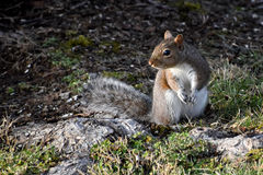 Squirrel on ground. Gray squirrel feeding on the ground and keeping a intent lookout for trouble on the rise Royalty Free Stock Images