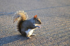 Squirrel on the ground Stock Images