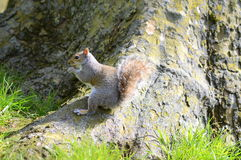 Squirrel on the ground Royalty Free Stock Photo