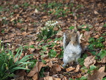 Squirrel on a ground. Looking for food Royalty Free Stock Photos