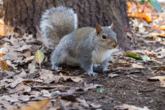 Squirrel. On ground between oak leafs royalty free stock photos